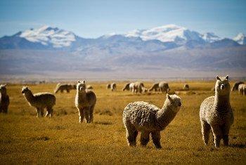 生活在秘鲁安第斯山脉地区的羊驼。