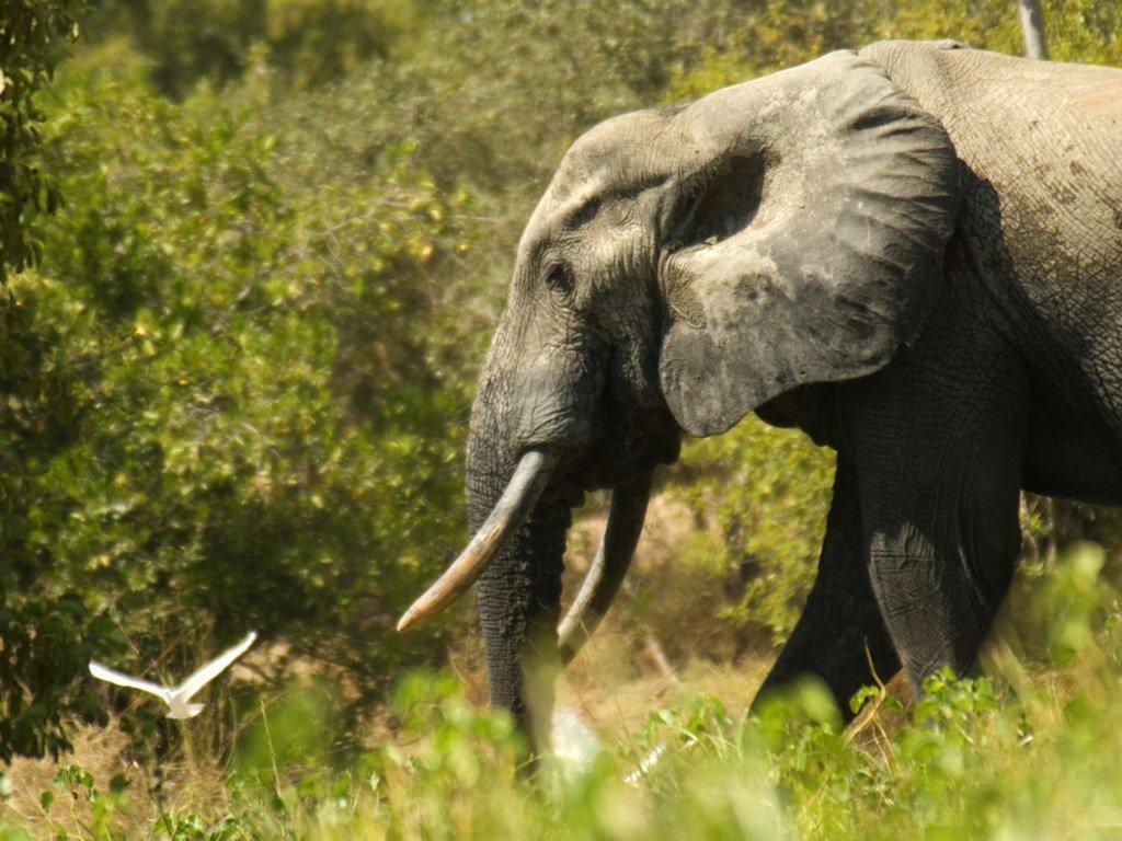 在加纳拍摄到的非洲象。