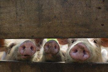 No hay una vacuna efectiva para proteger a los cerdos de la enfermedad