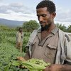 A new talking app helps farmers like Tazelekwew, in southern Ethiopia, detect whether their crops have been infected by Fall Armyworm.