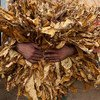 Tobacco grower holding tobacco leaves. Brazil.