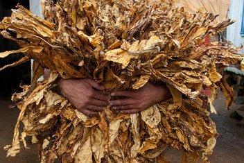 Un productor de tabaco recoge la cosecha en Brasil