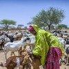 En Níger, las cabras son susceptibles a padecer de la peste de los pequeños rumiantes.