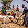 2017年9月,肯尼亚中部桑布鲁实施了一项针对小反刍兽疫的疫苗接种方案。