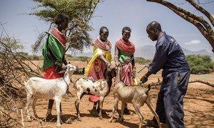 Un programme de vaccination contre la peste des petits ruminants à Samburu, au Kenya, en septembre 2017.