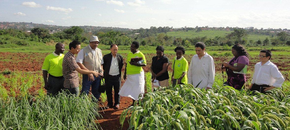 联合国粮农组织的南南合作项目促进了中国专家与乌干达农民之间的合作与知识共享。