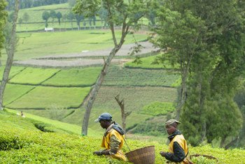 卢旺达茶园的工人们将叶子加工成饮料出口。这一场所占地数百公顷,在旺季雇用约200人,其余时间雇用70人。