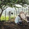 Orlando Ruiz Mendes ordeñando una vaca en su finca en la región de Pertenencia, en el norte de Colombia. Mendes participa en el programa de restitución de tierras para agricultores desplazados por la violencia inaugurado en 2013..