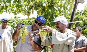 08 July 2018, Tiba, Nubaria, Egypt. - Yehia Salah (l), a technical expert at FAO Egypt, explains to Mohamed Sobhi how to identify well-planted grapes, as part of FAO training programme for farmers, developed in collaboration with the Egyptian Ministry of Agriuclture and Land Reclamation.