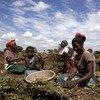 21 May 2013, Mchinji District, Malawi- Women harvesting groundnuts in a field at Mzingo Village.