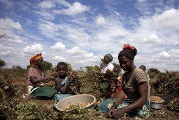 Des femmes dans un champ du village de Mzingo, au Malawi, en 2013.