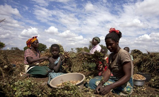 21 May 2013, Mchinji District, Malawi- Women harvesting groundnuts in a field at Mzingo Village.