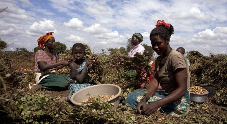 Un grupo de mujeres recoge frutos en Mzingo, en Malawi.