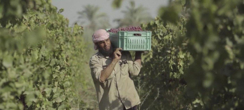 مبروك خميس أحد المستفيدين من التدريب الذي تدعمه منظمة الفاو لتدريب مزارعي العنب في مصر على كيفية التعرف على الأمراض ومعالجتها، والمواعيد المناسبة للحصاد لتجنب الخسائر غير الضرورية.