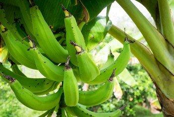 Doença que afeta as plantações de banana está preocupando especialistas da FAO e agricultores.