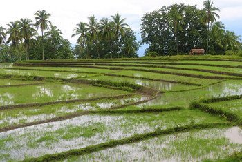 Irrigation channels have helped farmers in Uailili in Timor Leste to grow more produce.
