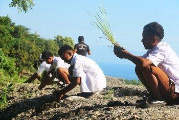 在一个农村基础设施项目中,东帝汶的小学生正在种草。 (2017年6月图片)