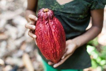 En Guatemala, los granjeros están plantando cacao en un esfuerzo para establecer prácticas agrícolas más sostenibles.