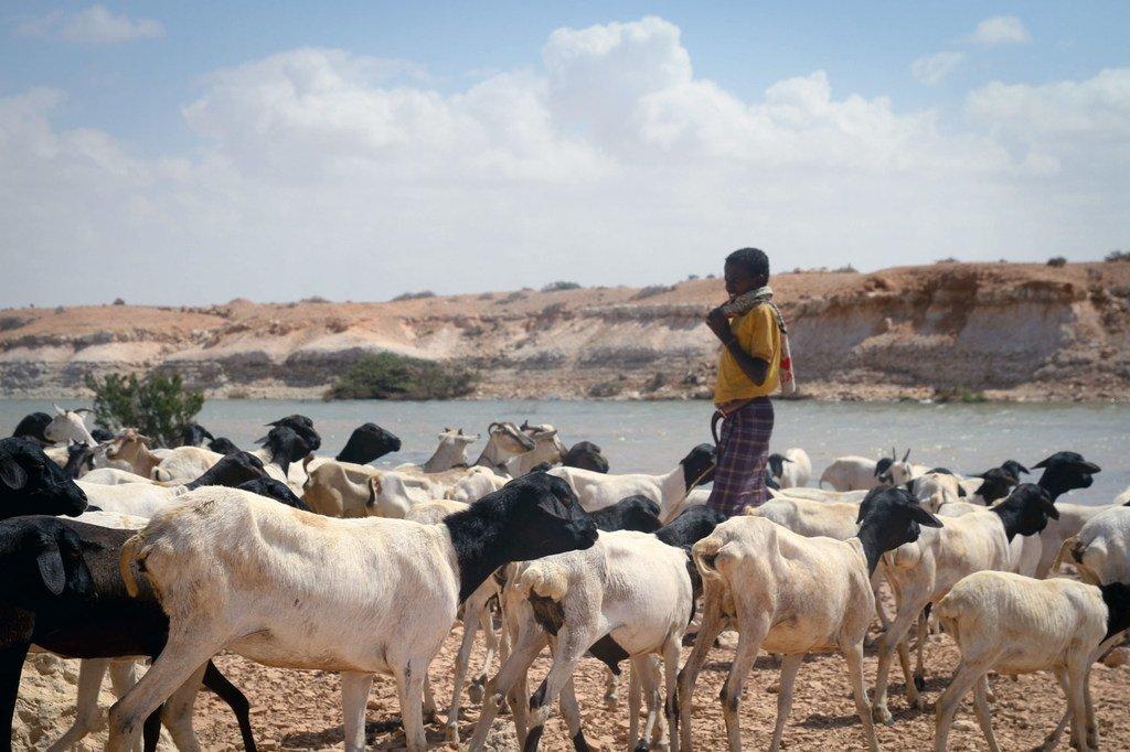索马里邦特兰地区的牧民。
