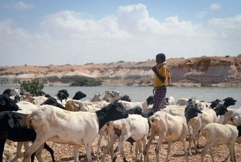 Consequences of climate change vary from region to region. UN-supported dams in Somalia provide water access to livestock.