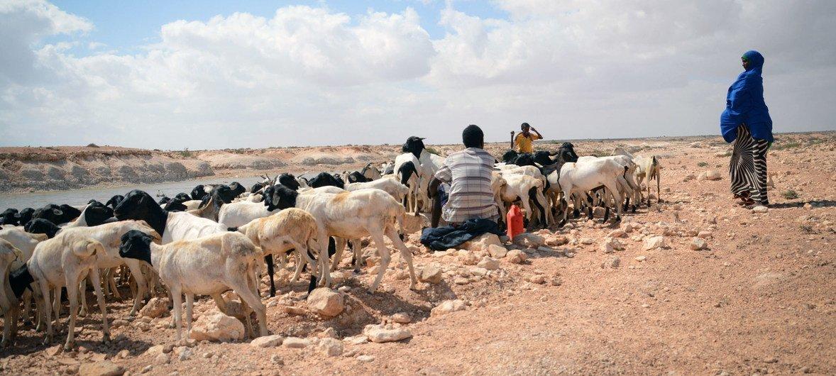 Huko Puntland, Somalia, mimea inakauka, mifugo inakufa kutokana na ukame kwenye eneo hilo, kufuatia mfululizo wa miaka mitatu ya ukosefu wa mvua (Picha ya mwaka 2017).