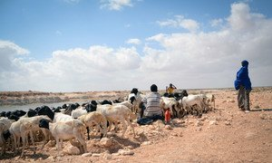 In Somalia's Puntland, crops and livestock have died in areas where there is no water following three years of failed rains. (January 2017)