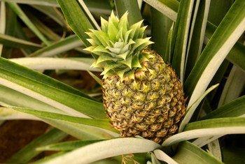 Plantación de piñas de la empresa 'Flor Agroindustrias', dedicada a la producción sostenible de esta planta tropical.