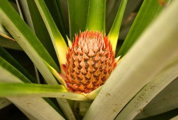 A pineapple bud growing in Costa Rica.