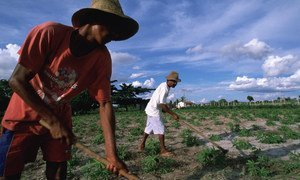 Rural laborers in Bahia State tend to manioc crop in Brazil's parched Northeast.
