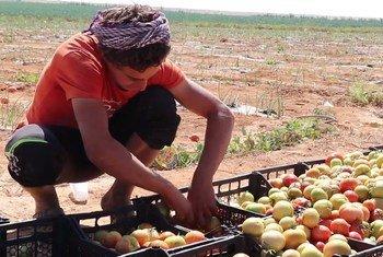 العديد من العمال المزارعين في الأردن هم عمال مهاجرون أو لاجئون سوريون. نوفمبر 2018.