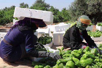 A November 2018 ILO study has identified deficits in decent work and employment conditions for workers in Jordan's agricultural sector, including a lack of wage protection, an absence of social security coverage for workers, and poor occupational safety and health measures.
