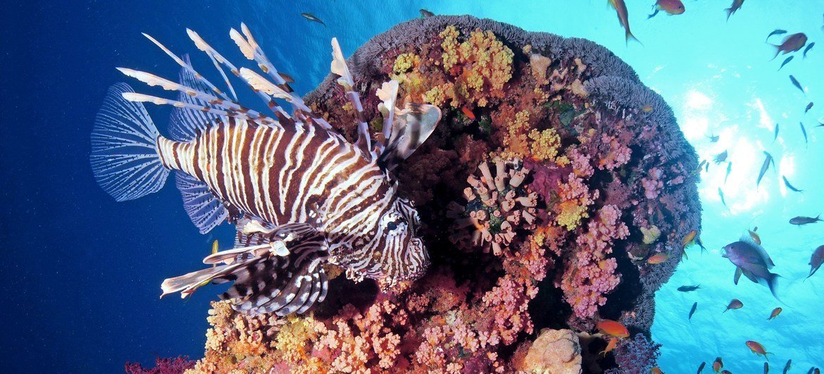 A lionfish on a reef in the Red Sea.
