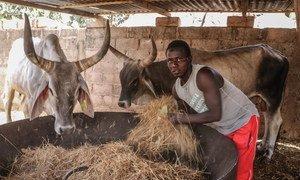 在位于萨赫勒地区的塞内加尔,持续的干旱导致牲畜饲料减少(2018年5月图片)。