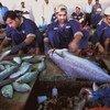 移民劳动者在阿联酋迪拜的一家鱼市内处理鲜鱼。