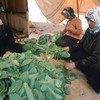 黎巴嫩的叙利亚难民正在处理烟草叶。(资料)