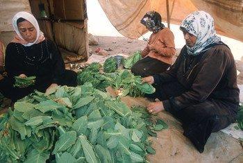 Wafanyakazi kutoka Syria wakichambua tumbaku kwenye kiwanda kimoja nchini Lebanon (Maktaba)
