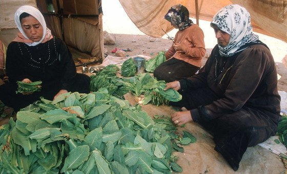 Syrian workers process tobacco leaf in Lebanon. (file)