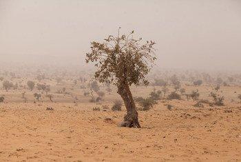 Un arbre à Tera, dans l'ouest du Niger, située dans l'espace sec et semi-désertique de la région du Sahel