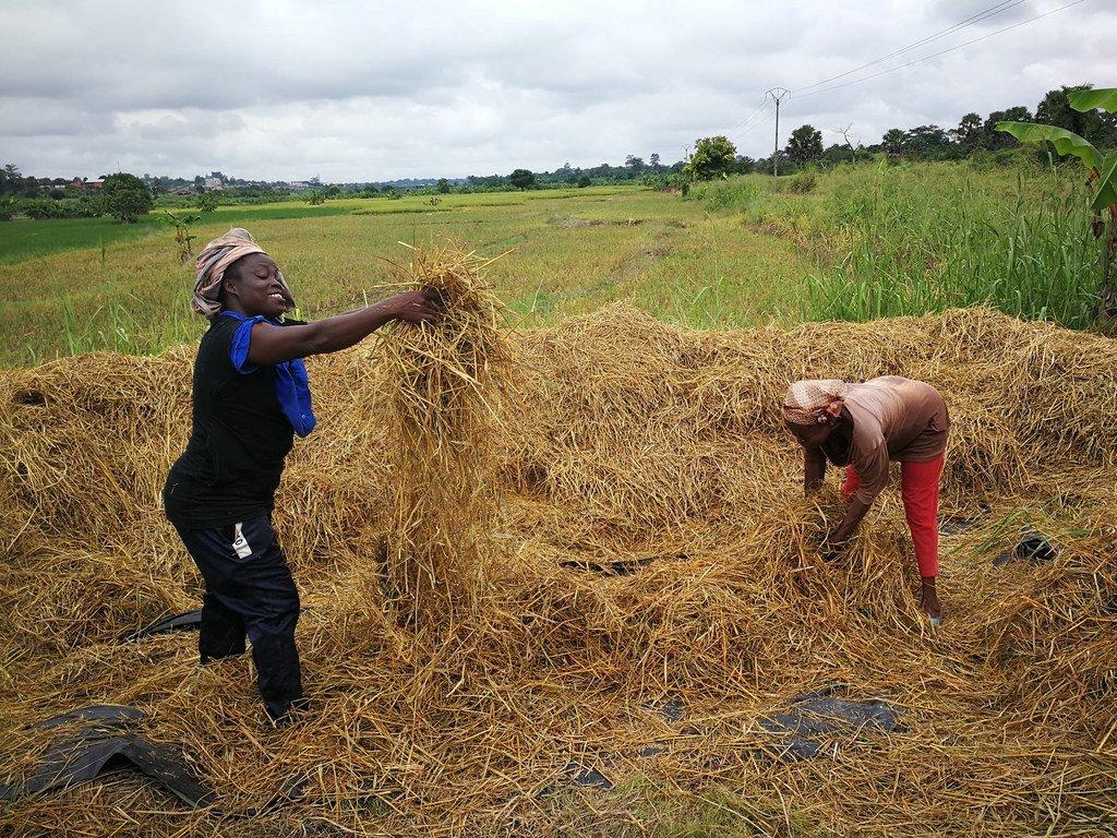 Grâce à la coopération Sud-Sud, des conseils techniques sur la culture du riz ont été fournis à des agriculteurs en Afrique.