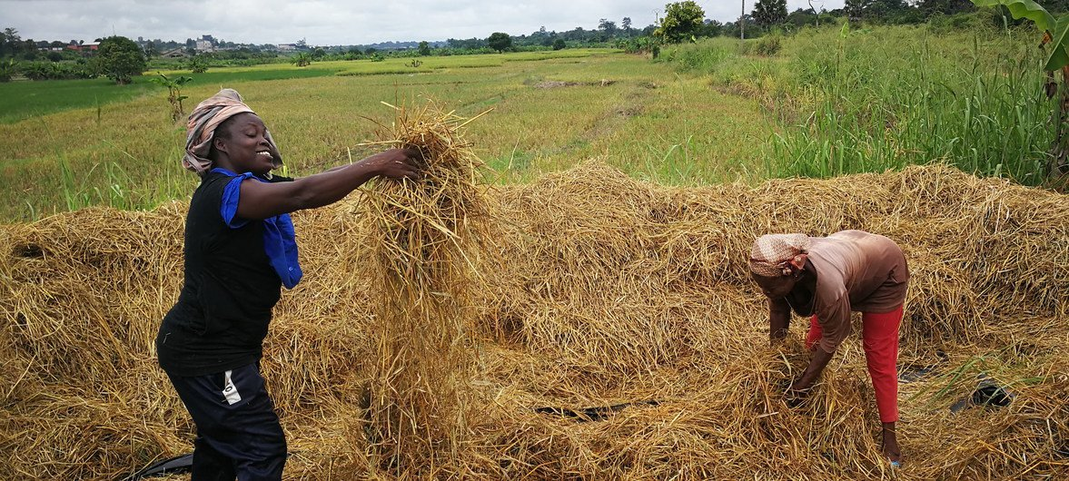 Through the South-South Cooperation (SSC), training and technical guidance on rice production have been provided to farmers in Africa and now in Cote D'Ivoire they are celebrating a bumper harvest.