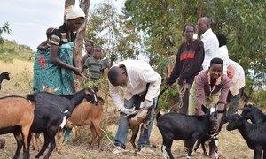 Chanjo dhidi ya tauni ya wanyama nchini Burundi