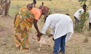 Chanjo ya wanyama dhidi ya ugonjwa  tauni ya wanyama au PPR nchini Burundi.