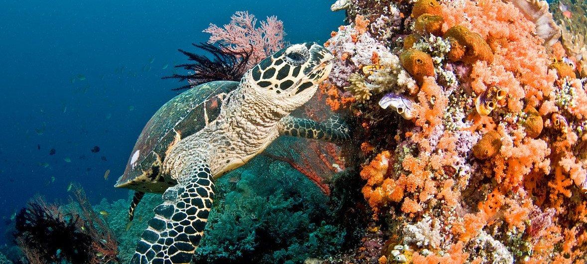 Une tortue nage près d'un récif de corail aux Maldives.