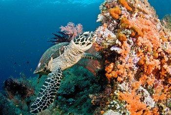 سلحفاة تسبح بين الشعاب المرجانية في مياه جزر ملديف.