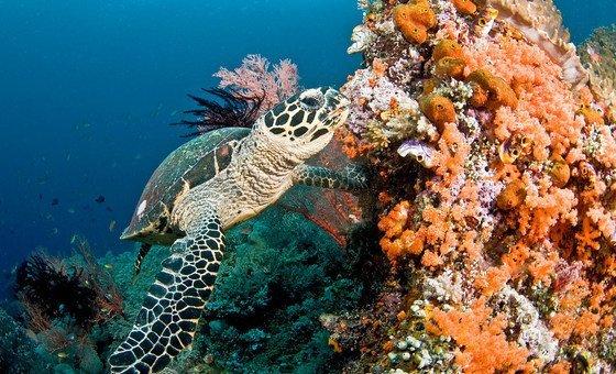 Una tortuga marina nada en un arrecife de coral en las Islas Maldivas.