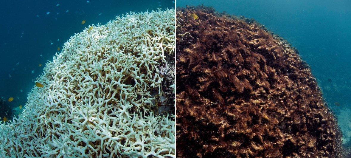 Avant et après le blanchissement des coraux dans la Grande Barrière de corail.