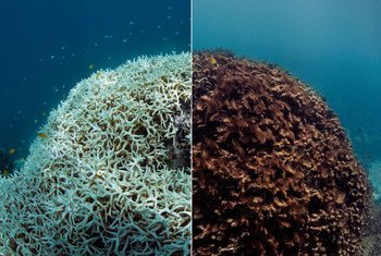 Antes e depois do branqueamento de corais na Grande Barreira de Corais.