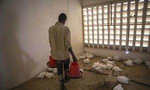 Harakati za kuinua kipato cha  jamii huko Gao nchini Mali na hapa kupitia mradi wa matokeo ya haraka  uwezeshwao na MINUSMA kijana anaweza kufuga kuku.
