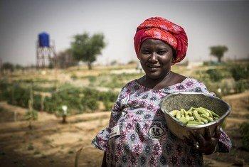 马里稳定团在北部的加奥地区开展农业项目,改善脆弱社区的粮食安全。