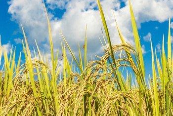 A resistência climática do arroz aumenta quando tratado com algas irradiadas.